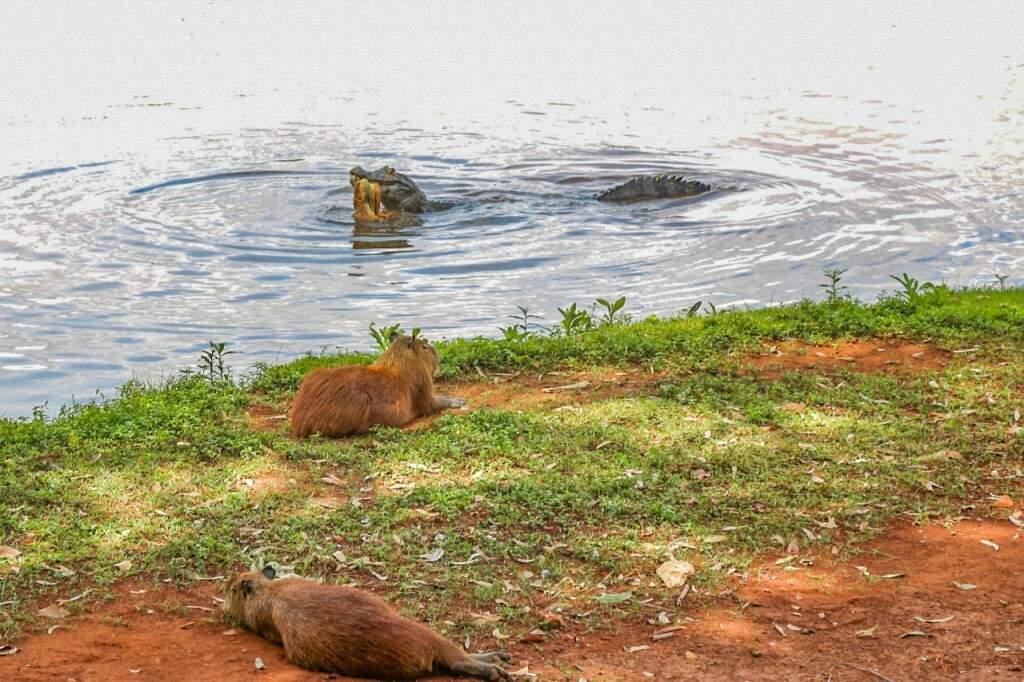 """Enquanto as capivaras relaxam, o jacaré aproveita para fazer uma """"boquinha"""" no Lago do Amor (Foto: Paulo Francis)"""