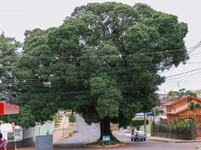 A figueira está no meio da rua do Rosário (Foto: Henrique Kawaminami)