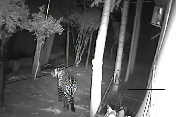 Vídeo mostra onça caminhado ao redor de casa. (Foto: Reprodução  vídeo)