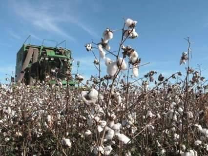 Governo altera data do vazio sanitário e plantio do algodão em MS