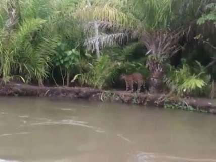 Vídeo: grupo alimenta onça na beira do Rio Aquidauana, no Pantanal