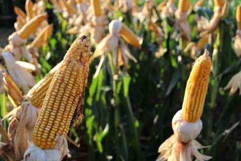 Plantio de milho safrinha avança e 43% das lavouras de MS estão semeadas