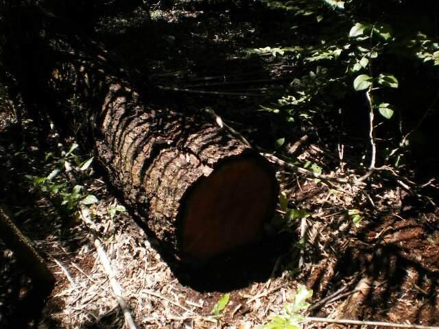 A fazendeira foi multada em R$ 8 mil por derrubar árvores da espécie aroeira. (Foto: divulgação)