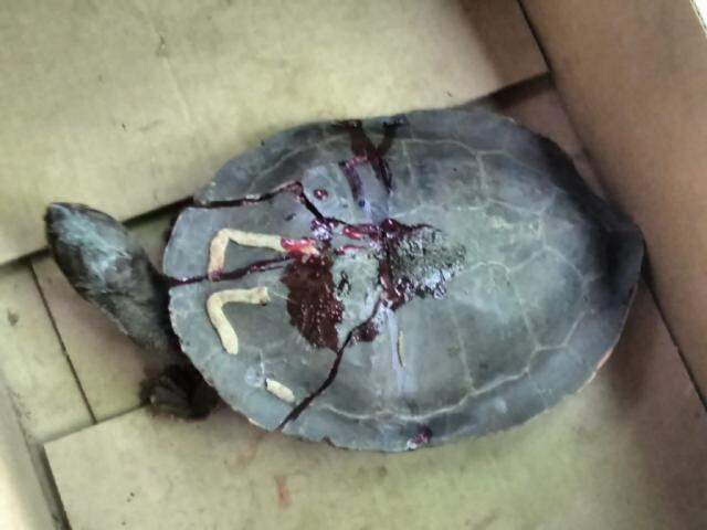 Animal atropelado em rodovia de MS. (Foto: PMA)