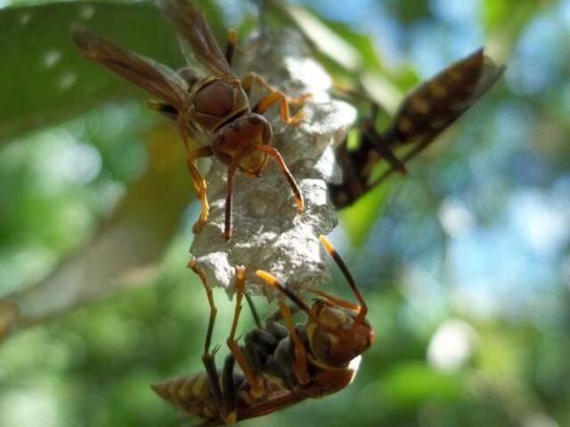 """Vespas Polistes sp construindo ninho em árvore do cerrado. """"Só atacam quando se sentem ameaçadas"""". (Foto: Rodrigo Aranda)"""