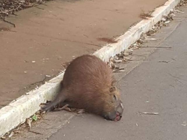 Animal está encostado no meio fio da avenida. (Foto: Direto das Ruas)