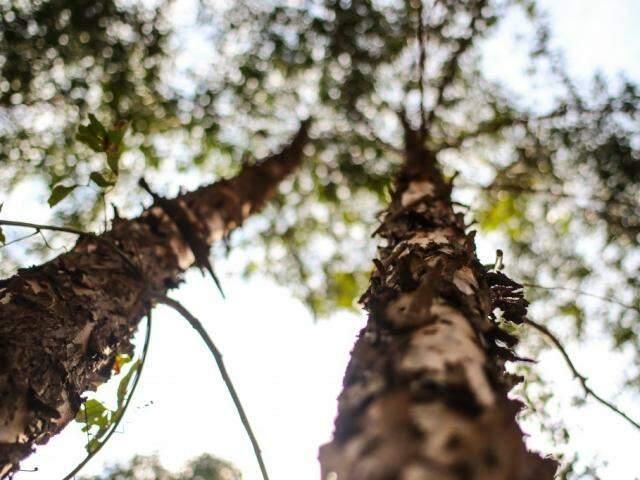 Eucalipto teria tomado espaço de pastagens no Estado (Foto: André Bittar/Arquivo)