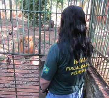 Ibama autoriza e leão embarca para Rancho dos Gnomos no interior de SP