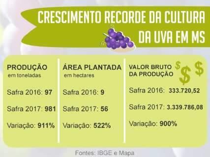 Com área de plantio 6 vezes maior, MS aumenta produção de uva em 911%