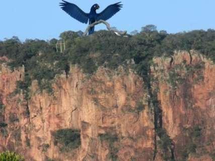 De asas abertas para turistas, arara azul é projeto de mirante no Pantanal