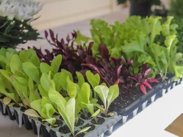 Mudas de hortaliças crescendo no espaço Plantare. (Foto: Fernando Antunes)