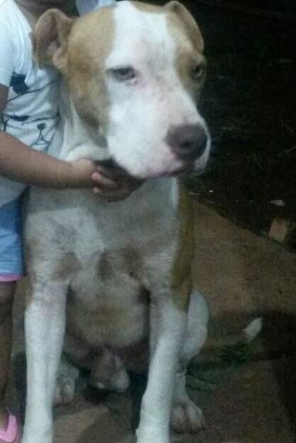 O cão pitbull atende pelo nome de Max.(Foto:Arquivo Pessoal)