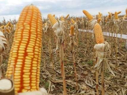 Colheita de milho entra na reta final na região norte de Mato Grosso do Sul