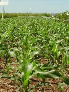 Estiagem afeta safra de soja e valor da produção em MS cai