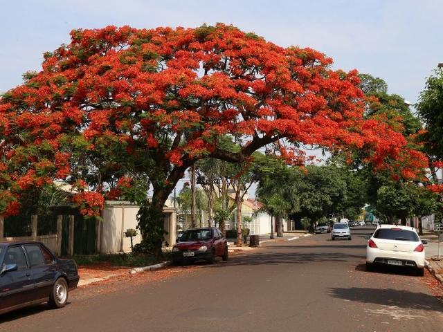 De longe, já dá pra se impressionar com a beleza da árvore, na Rua do Rosário.(Foto:Fernando Antunes)