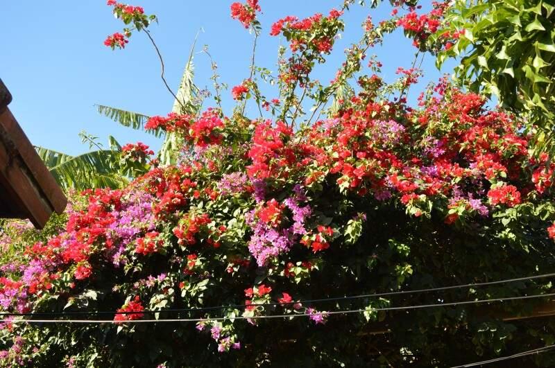 Primavera de dona Elvira, um dos coloridos do quintal que lembrou a neta do quanto casa já foi cheia. (Foto: Simão Nogueira)