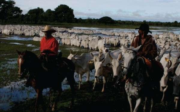 Campanha contra Febre Aftosa vai imunizar rebanho na zona de planalto e Pantanal