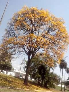Pelo celular, leitor registra ipês nas ruas de Campo Grande