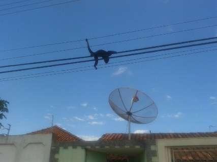 Macaco escala rede elétrica, leva choques e é resgatado por moradores