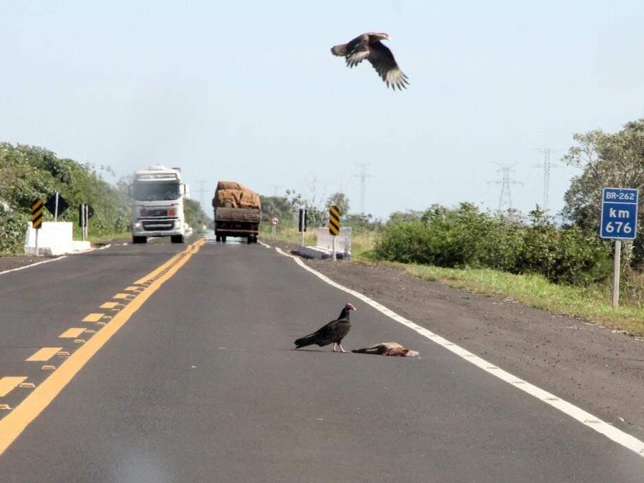 Caminhão se aproxima de gaviões sobrevoando animal morto na pista (Foto: Silvio Andrade)