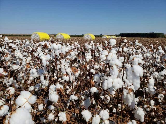 Plantação de algodão na região norte do estado com detalhe, ao fundo, das plumas que já foram colhidas (Foto: Robson Carlos dos Santos)