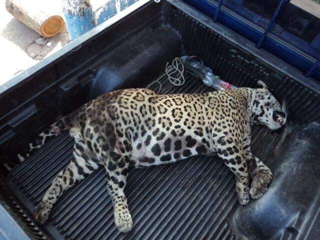Onça-pintada foi recolhida pela Polícia Militar Ambiental. (Foto: Divulgação)
