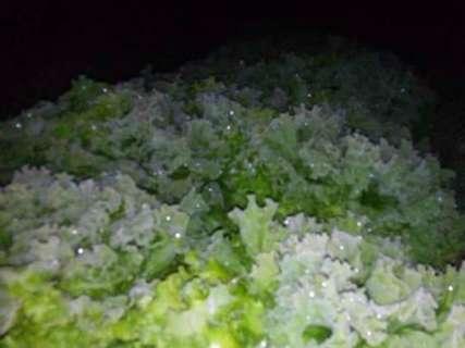 Hortaliças congelam com a geada e preço dos produtos deve subir
