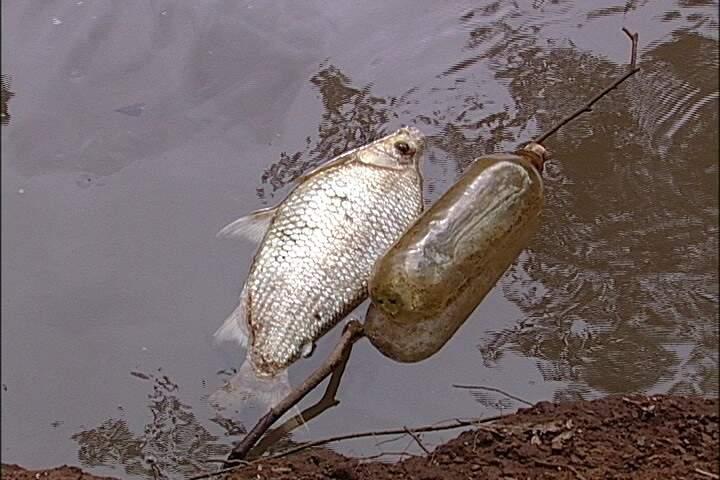 curimbatás foram encontrados boiando no córrego Anhanduí(Foto: Reprodução SBT MS)
