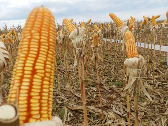 Plantação de milho da safra passada em MS (Foto: divulgação/Aprosoja)