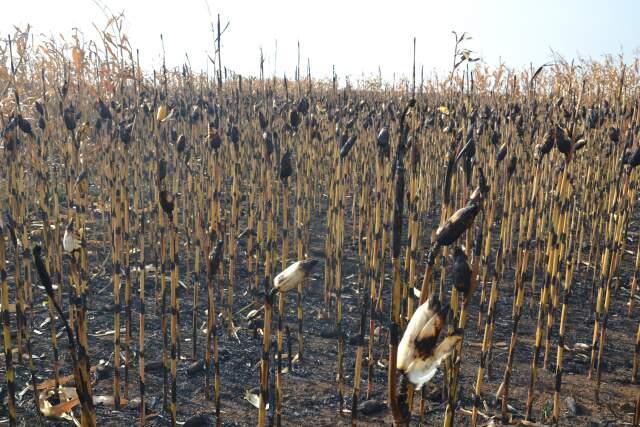 Mais de 100 hectares de milho foram destruídos (Foto: Simão Nogueira)