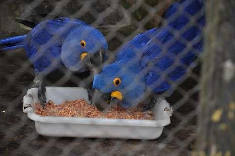 Em campanha, WWF incentiva adoção para salvar arara-azul no Pantanal