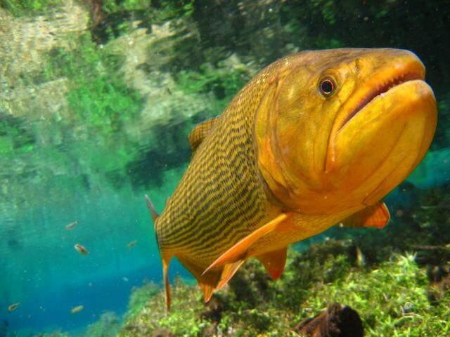Dourado, peixe cuja pesca é proibida em alguns municípios de MS (Foto: Divulgação)