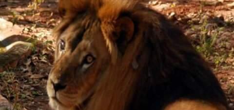 Integrantes de ONG que vêm resgatar leão de Ivinhema chegam nesta 5ª