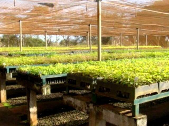 Viveiro de mudas em São Gabriel do Oeste deve ampliar produção para ajudar na recuperação de matas ciliares. (Foto: Divulgação)