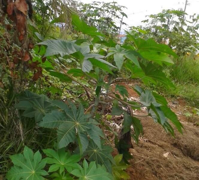O mato alto incomoda moradores da região.(Foto: Direto das ruas)
