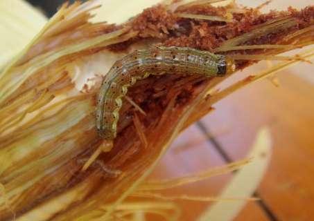 Ministério decreta emergência em MS devido a lagarta em lavouras