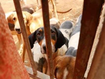 """Após resgate de 40 foxhound, moradores denunciam 'prisão"""" de cães da mesma raça"""