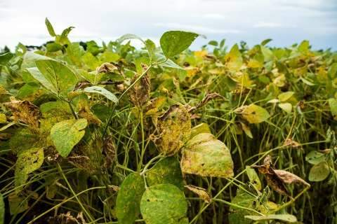 Plantio de soja em MS está proibido por 90 dias para combater doença