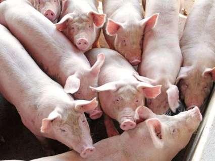 Abate de bovinos cai 6,7% e de suínos aumenta 3,8% em MS no 3° trimestre