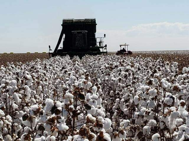 """Colheita de algodão em MS, uma das apostas do """"agroturismo"""" (Foto: Robson Carlos dos Santos)"""