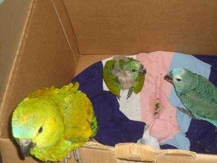 Durante operação, PMA recupera papagaios que seriam traficados
