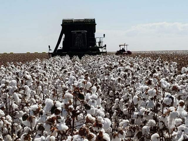 Máquinas colhendo algodão nesta semana em Mato Grosso do Sul (Foto: Robson Carlos dos Santos)