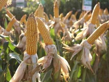 Colheita do milho safrinha segue a passos lentos e chega a 12% em MS