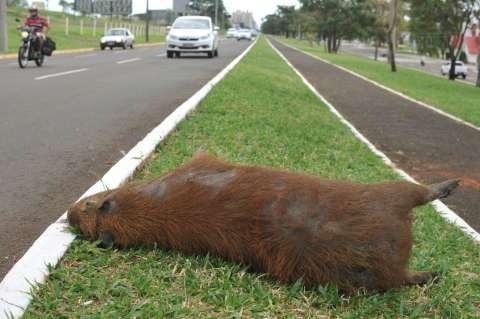 Capivara atropelada está desde sábado em canteiro da Afonso Pena