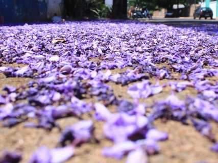 Campo Grande recebe primavera colorida pelos tarumãs e jacarandás