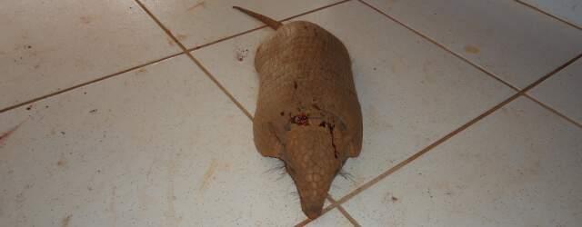Tatu-peba foi morto com um pedaço de madeira (Foto: PMA / Divulgação)