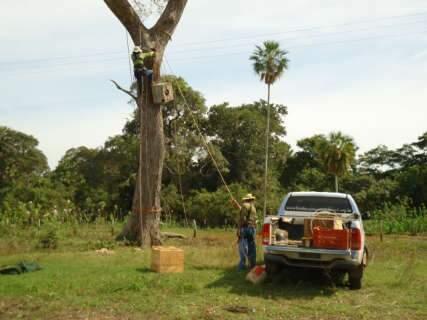 Projeto Arara Azul chega a 6 mil aves de volta à natureza no Pantanal