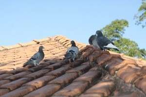 Seminário na Capital discute proliferação de pombos e aves urbanas