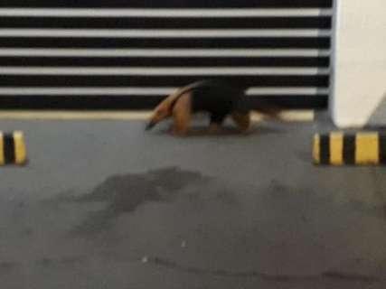 Pedestres tentam evitar que tamanduá-mirim seja atropelado em plena Zahran