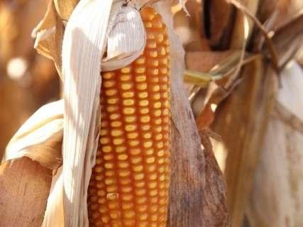 Colheita do milho safrinha já alcança 126 mil hectares em MS